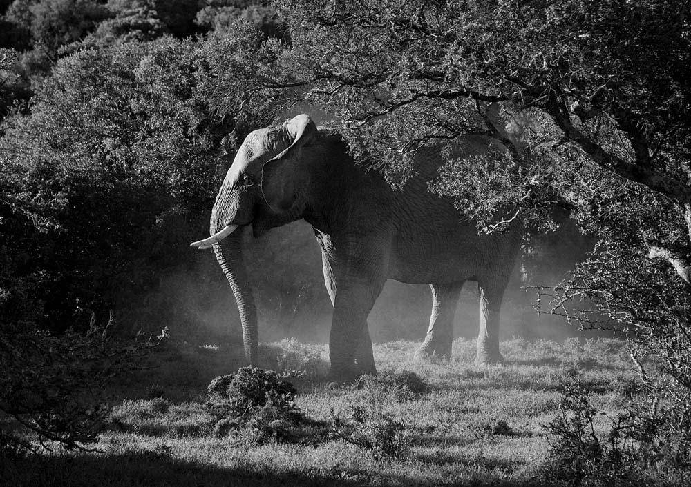 ElefantDSC_0053BW_1